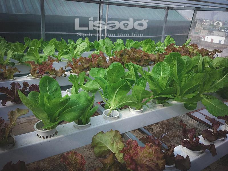Hướng dẫn cách lắp đặt và trồng rau thuỷ canh hồi lưu tại nhà