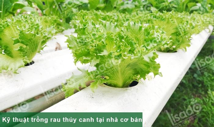 Kỹ thuật trồng rau thủy canh tại nhà