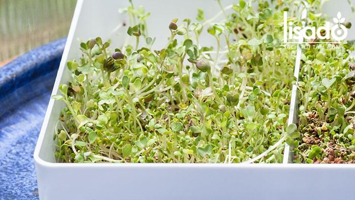 Một số lưu ý khi trồng rau mầm không cần đất
