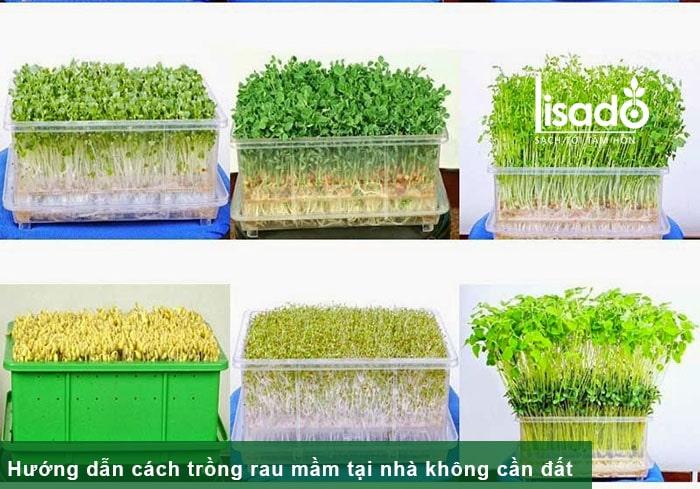 Hướng dẫn cách trồng rau mầm tại nhà không cần đất