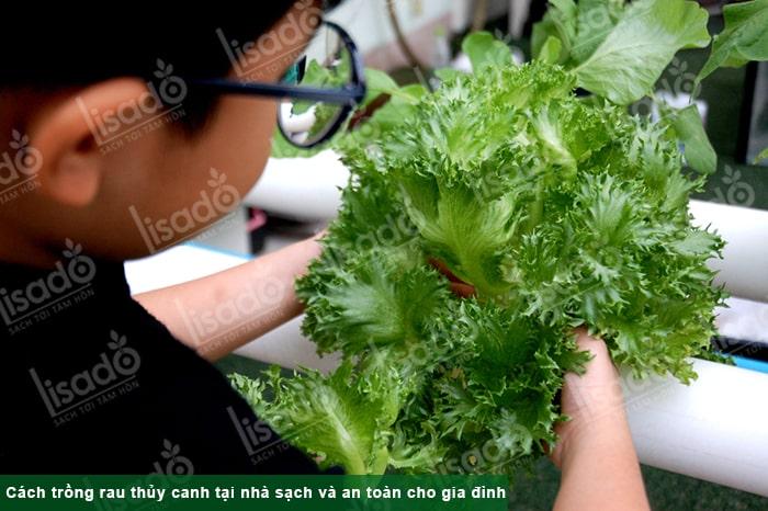 Cách trồng rau thủy canh tại nhà sạch và an toàn cho gia đình