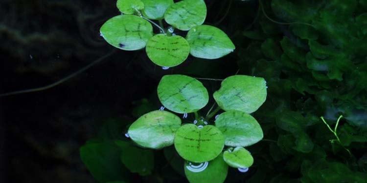 Bèo Nhật (Limnobium laevigatum)