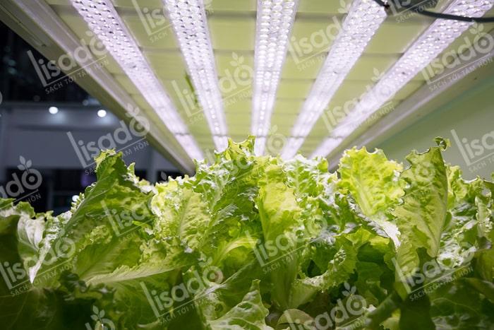 Hướng dẫn trồng rau thủy canh sạch với đèn LED tại nhà