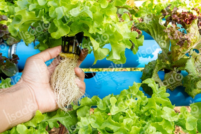 Trồng rau tại nhà mang lại những lợi ích gì cho gia đình?