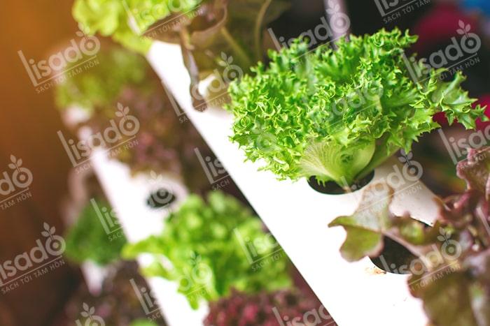 Cách trồng rau xà lách tươi ngon bằng mô hình thủy canh