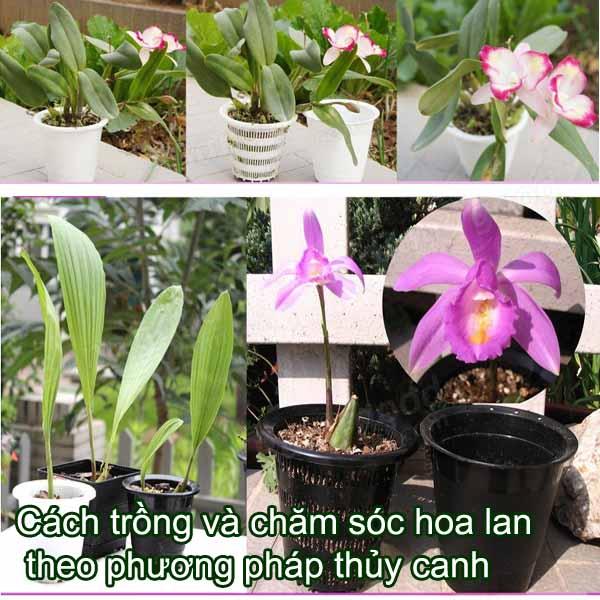trồng lan thủy canh được thực hiện như thế nào?
