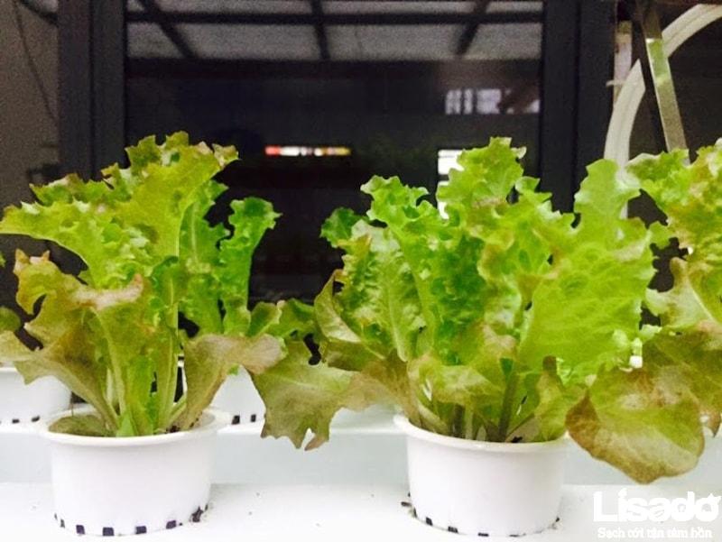 Lisado ứng dụng kỹ thuật trồng rau tiên tiến cho công trình trồng rau thủy canh nhà anh Ngọc - TP Hà Tĩnh