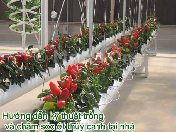 Hướng dẫn kỹ thuật trồng và chăm sóc ớt thủy canh tại nhà