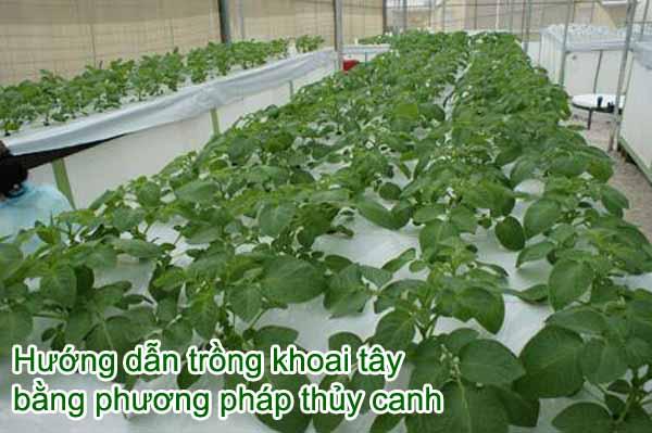 Lợi ích khi trồng khoai tây bằng phương pháp thủy canh