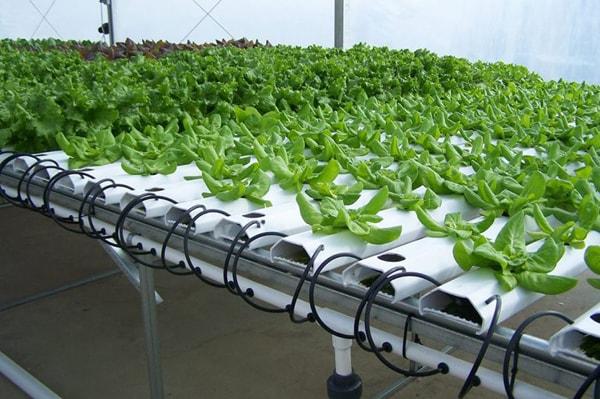 Những lý do nên trồng rau bằng phương pháp thủy canh
