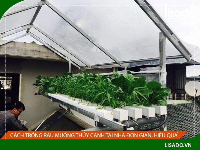 Cách trồng rau muống thủy canh tại nhà đơn giản