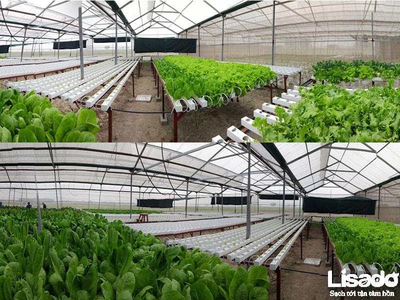Dự án trồng rau thủy canh quy mô sản xuất tại Bích Sơn –Việt Yên - Bắc Giang