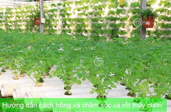 Hướng dẫn cách trồng và chăm sóc cà rốt thủy canh