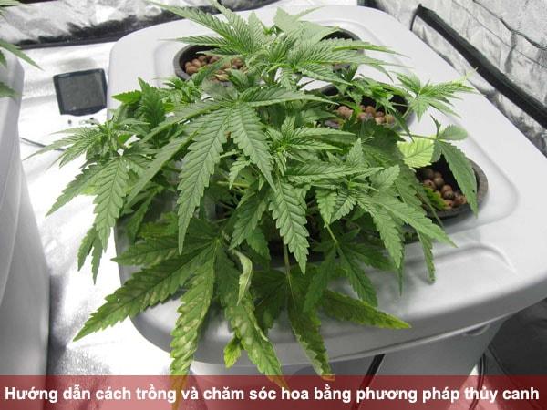 Hướng dẫn cách trồng và chăm sóc hoa bằng phương pháp thủy canh