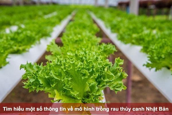 Tìm hiểu một số thông tin về mô hình trồng rau thủy canh Nhật Bản