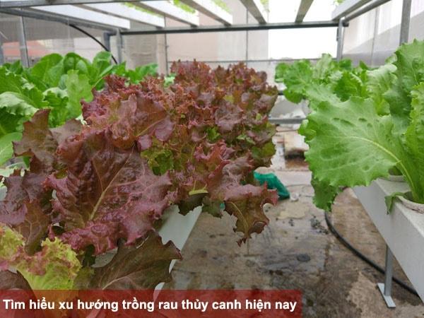 Tìm hiểu xu hướng trồng các loại rau thủy canh hiện nay