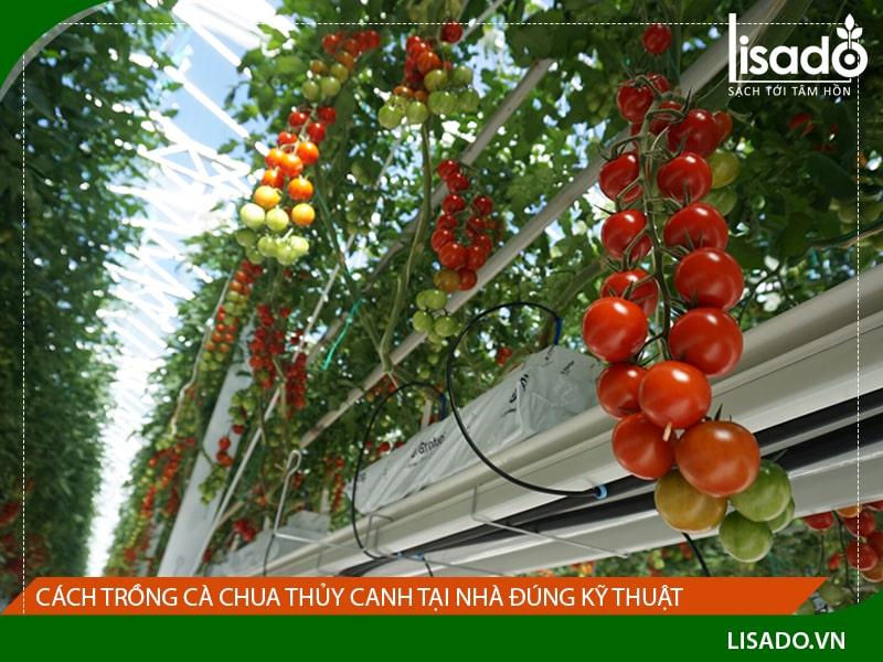 Hướng dẫn cách trồng cà chua thủy canh tại nhà đúng kỹ thuật