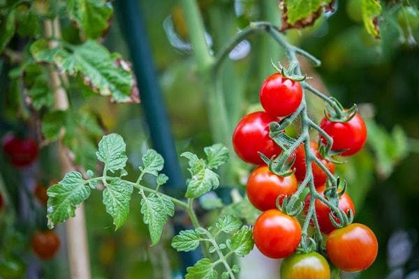 Cách trồng rau ăn quả bằng phương pháp thủy canh với thùng xốp