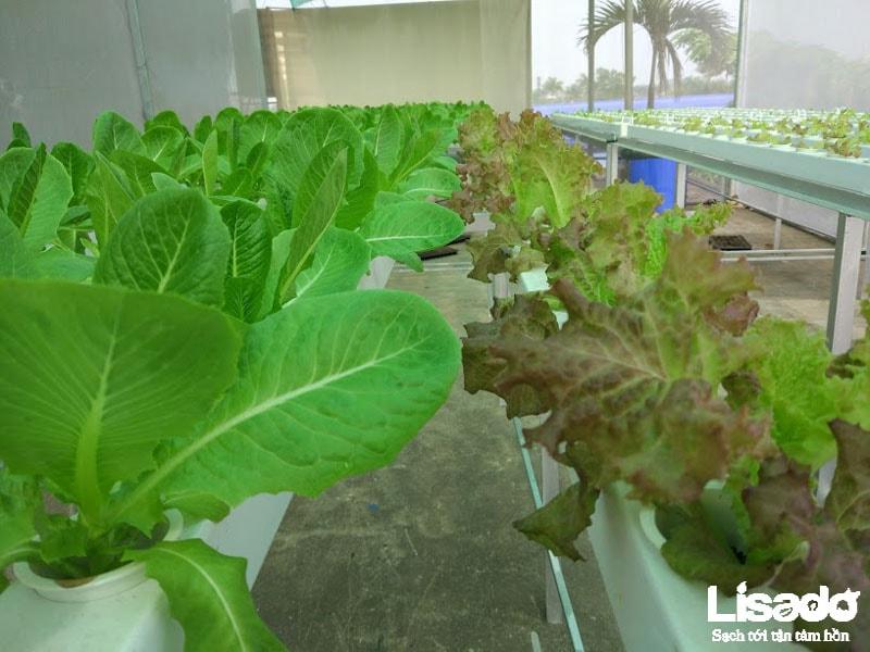 Dự án trồng rau thủy canh sạch tại công ty Hamatra Mê Linh - Hà NộiDự án trồng rau thủy canh sạch tại công ty Hamatra Mê Linh - Hà Nội