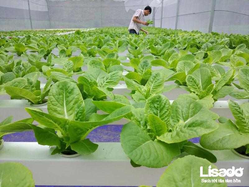 Dự án trồng rau thuỷ canh sản xuất rau sạch tại Mèo Vạc - Hà Giang