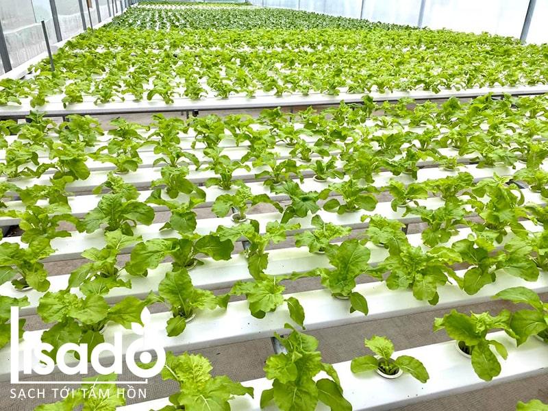 Vì sao cần dùng ống nhựa thủy canh khi trồng rau?