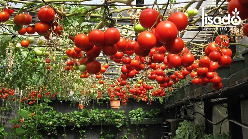 Lợi ích của việc trồng cà chua thủy canh