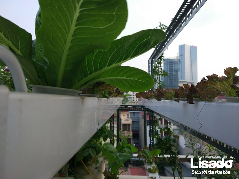 Công trình trồng rau thủy canh nhà chú Hùng tại Văn Cao - Hà Nội