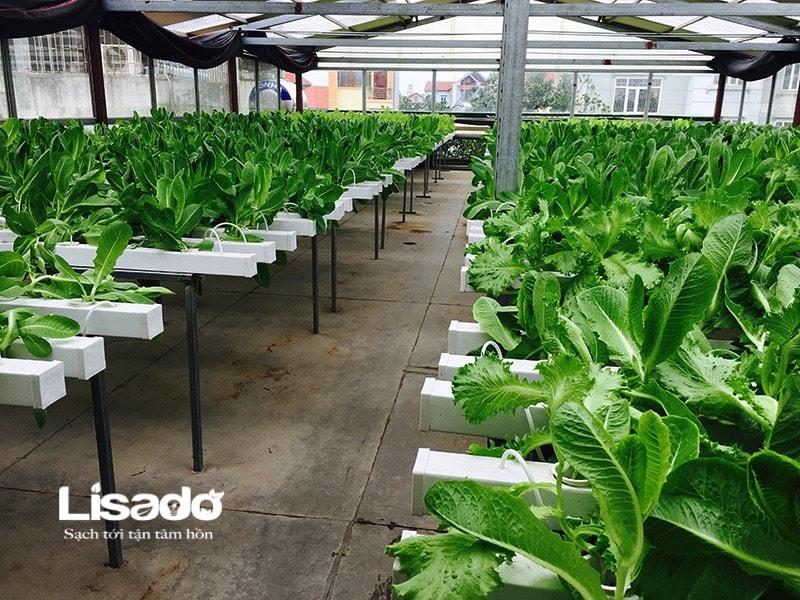 Hướng dẫn thu hoạch rau và vệ sinh vật dụng thủy canh sau thu hoạch