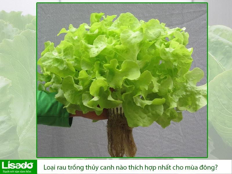 Loại rau trồng thủy canh nào thích hợp nhất cho mùa đông?