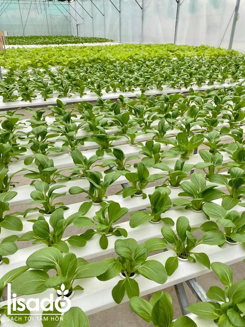 Tìm hiểu các giai đoạn phát triển của rau trồng thủy canh