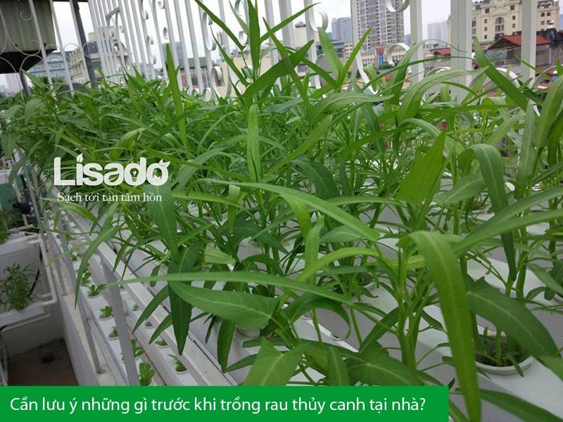 Cần lưu ý những gì trước khi trồng rau thủy canh tại nhà?