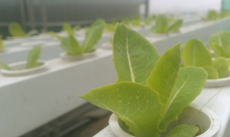 Giải pháp khắc phục rau thủy canh bị vàng lá