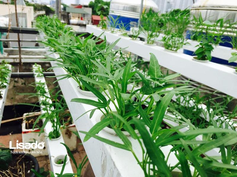 Những lưu ý về ánh sáng trong trồng rau thủy canh