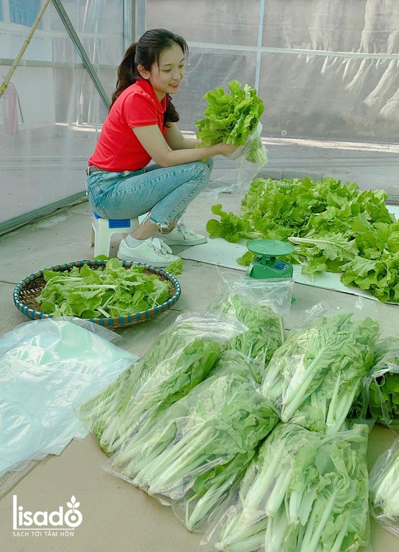 Sử dụng rau sạch thủy canh phòng tránh ngộ độc thực phẩm
