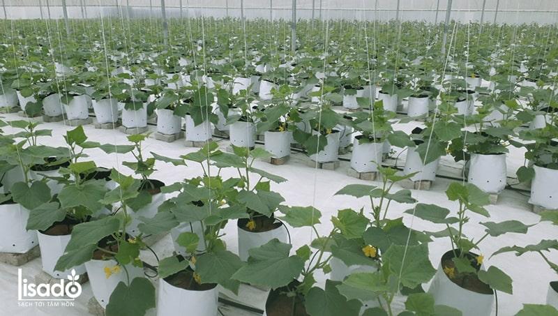 Hướng dẫn cách trồng dưa leo, cà chua tưới nhỏ giọt