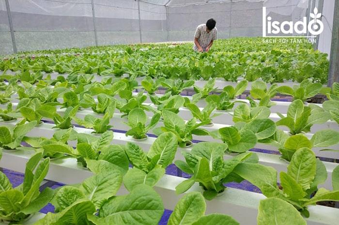 Rau cải được trồng bằng phương pháp thủy canh