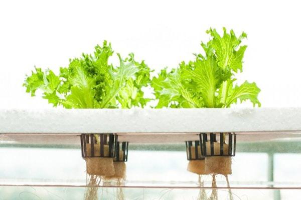 Tại sao trồng rau thủy canh tĩnh cần máy sục khí?