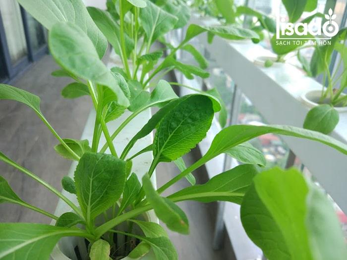 Rau cải trồng bằng phương pháp thủy canh