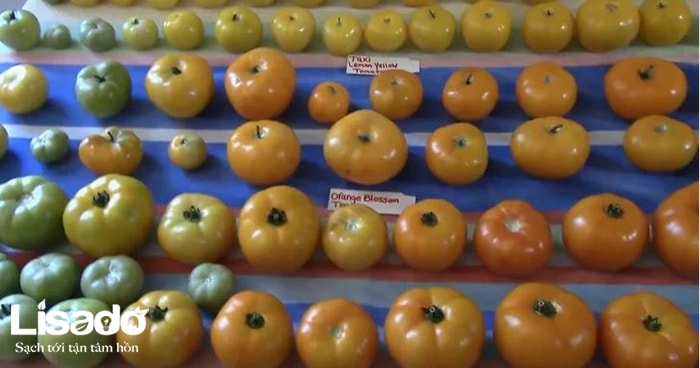 Tìm hiểu quy trình trồng cà chua trong nhà kính của nước ngoài