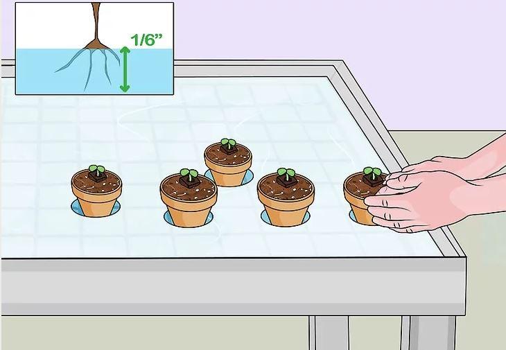 Đưa cây trồng vào trong khay dung dịch