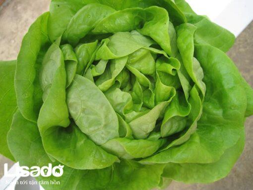 Hạt giống xà lách Butterhead xuất xứ Hà Lan chất lượng cao, giá tốt