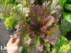 Hạt giống xà lách romaine đỏ
