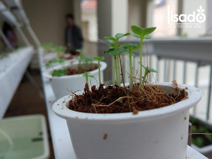 Giá thể xơ dừa trồng rau xà lách thủy canh