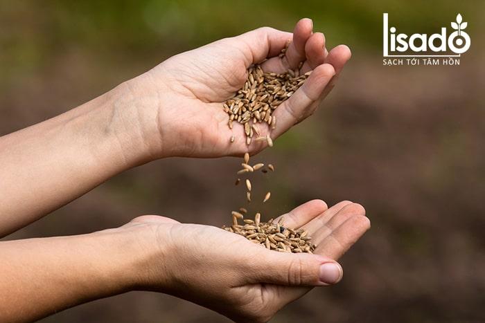 Hạt giống xử lý chất bảo quản có an toàn?