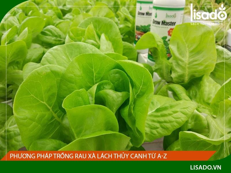 Cách trồng rau xà lách thủy canh từ A-Z cho người mới bắt đầu