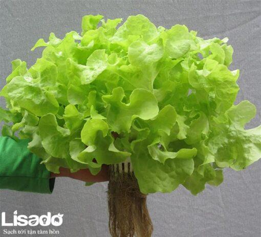 Hạt giống rau xà lách oakleaf Xanh chất lượng cao, giá tốt