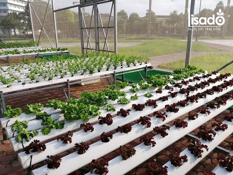 Các loại rau phù hợp với khí hậu Việt Nam