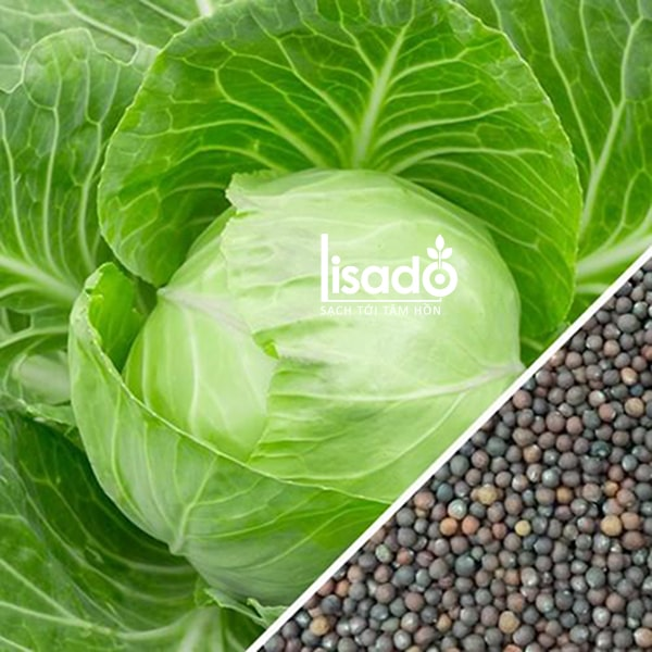 Hạt giống rau bắp cải thích hợp trồng trong mùa đông