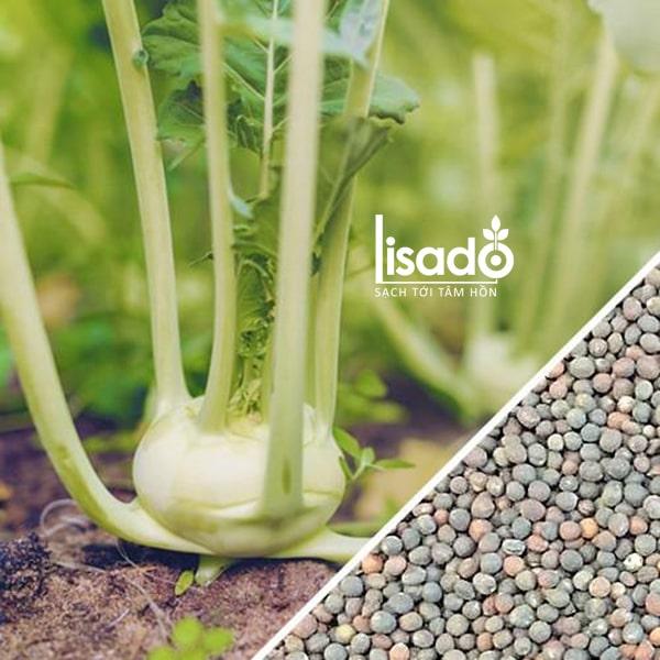 Su hào cũng là một trong những giống cây trồng ưa lạnh