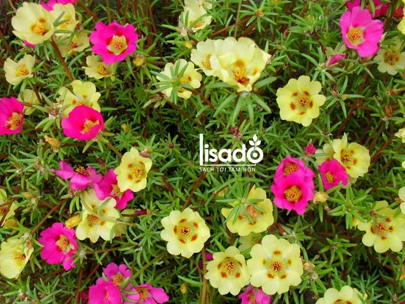 Hoa mười giờ rất thích hợp trồng vào mùa xuân